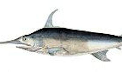 Swordfish photo